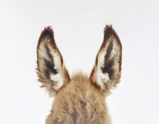 Donkey Ears_545
